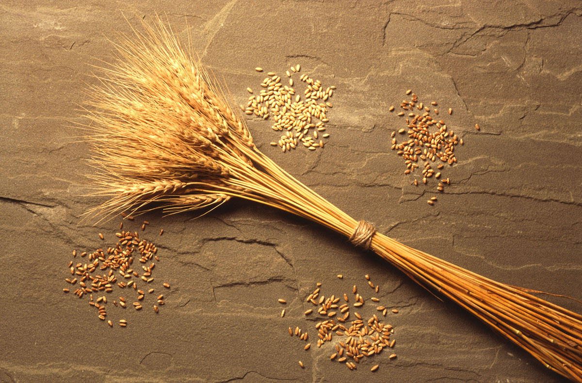 a grain of wheat essays Essay on the development of indian agriculture (2759  here is your essay on the development of indian agriculture  food grain production was quite low.